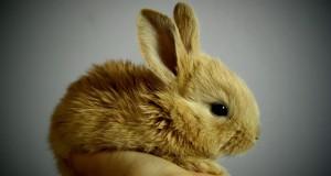 Ważniejsze choroby królików